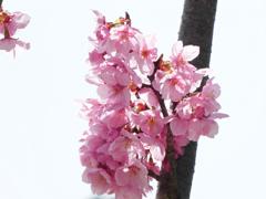 陽光桜02