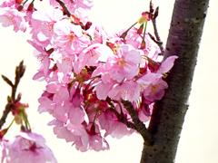 陽光桜03
