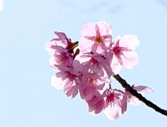 陽光桜01