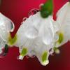 鈴蘭水仙と水滴
