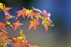 秋雨と紅葉