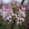 公園の花 ~クレオメ