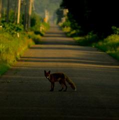 north fox