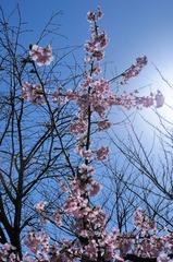 桜の十字架
