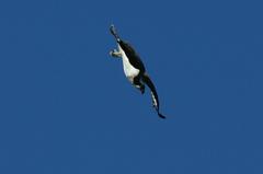 ミサゴ 飛び込み2