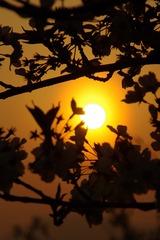 夕日に染まる桜