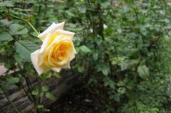 丸の内ブリックスクエアのバラ