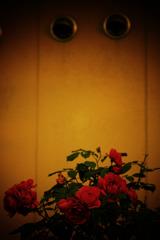 バラ咲く壁