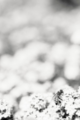 a bee in monochrome