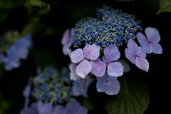 紫陽花 June/2009 #02