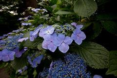 紫陽花 June/2009 #06