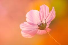 秋桜-1322