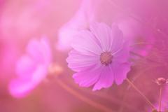 秋桜-1138