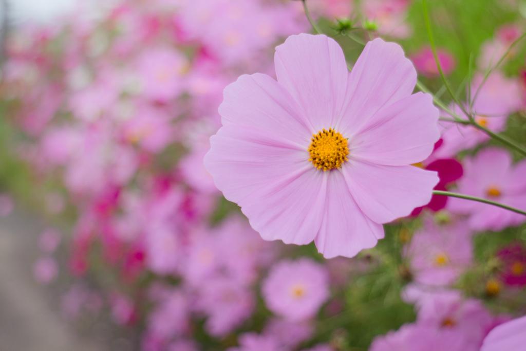 秋桜-0170