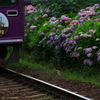 紫陽花と京紫