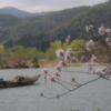 広沢池・桜