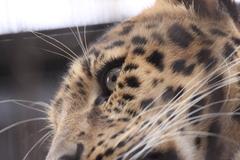 旭山動物園にて_アムールヒョウ