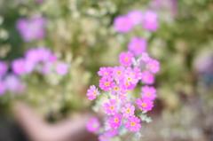 かすみ 花