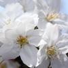 せっかくなのでマクロで桜
