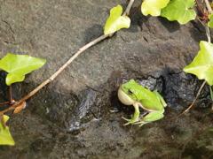 カエルの歌
