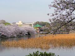 桜と弁天堂