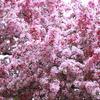 5月の桜? さるすべり?