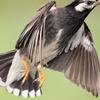 ムクドリ - 羽の魅力