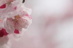 201100403_Sakura024