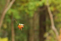 紅葉を捕獲