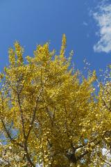 銀杏と秋晴れ
