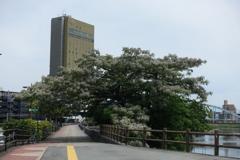 栴檀の樹全体像