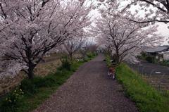 桜並木(トンネル)