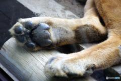 ライオンの足