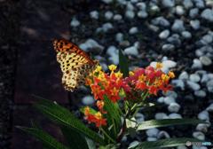 トウワタの花とヒョウモン蝶