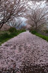 桜花雪のごとく#2