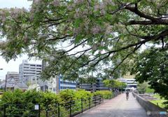 初夏~栴檀の花咲く遊歩道