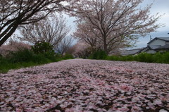 桜花雪のごとく