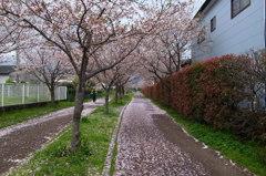 桜花雪のごとく#1