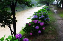 雨のアジサイ遊歩道