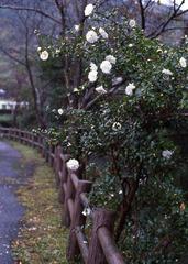 フィルムで散歩/山茶花