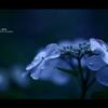 2012紫陽花 05