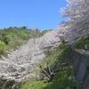 人影少ない桜