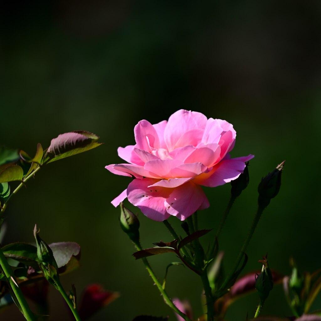 残り少ないバラ 1
