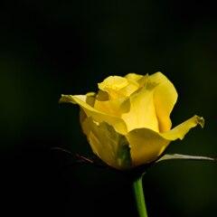 残り少ないバラ 2