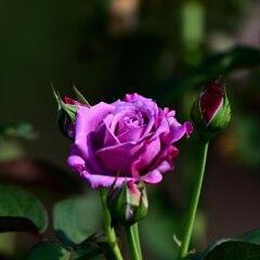 残り少ないバラ 3