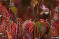 紅葉と蕾み