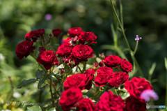 貴女へ送る薔薇
