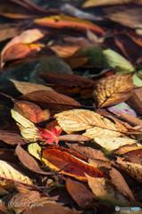 水中の秋を見つけました(紅葉)