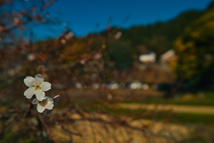 春と勘違いして咲いた桜は、何を思う