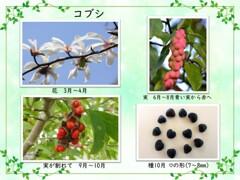 コブシ・花から種へ